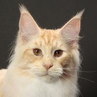 Whatatrill Maine Coons