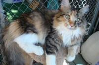 Cameronwoods Maine Coons