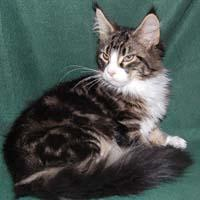 CoonPlay Maine Coons