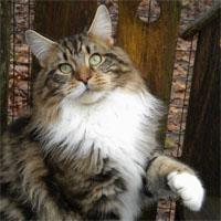 Amerikoons Maine Coons