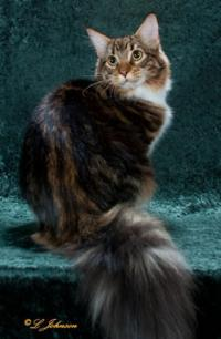 Conkycats Maine Coons