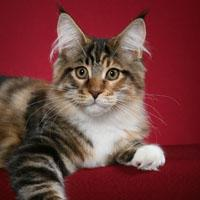 Chemicoons Maine Coons