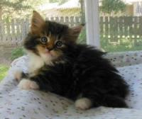 Coonhusker Maine Coons