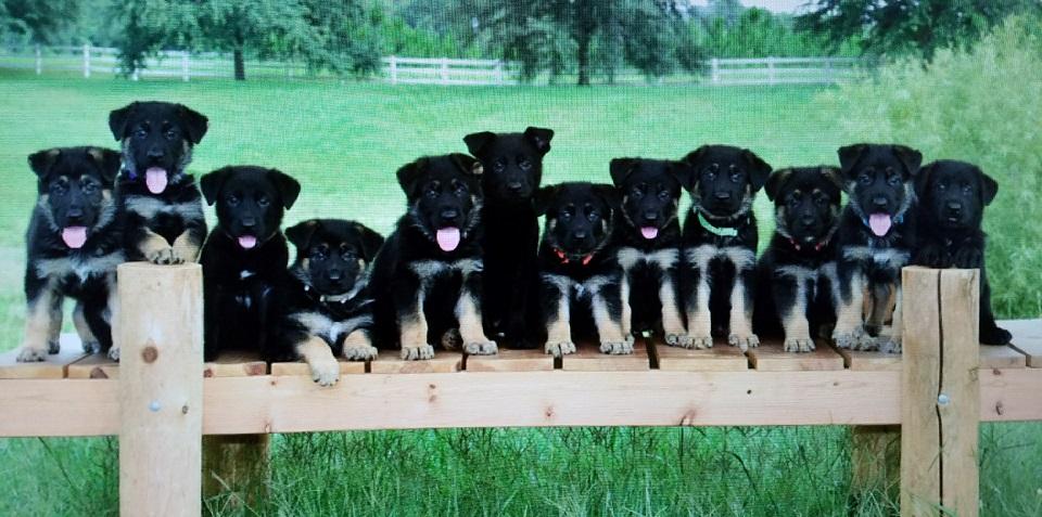 The Lords German Shepherds