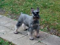 Whistle Hill Schnauzers