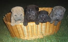 Chinese Shar-Pei Picture