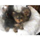 Bayside yorkies Yorkshire Terrier Picture