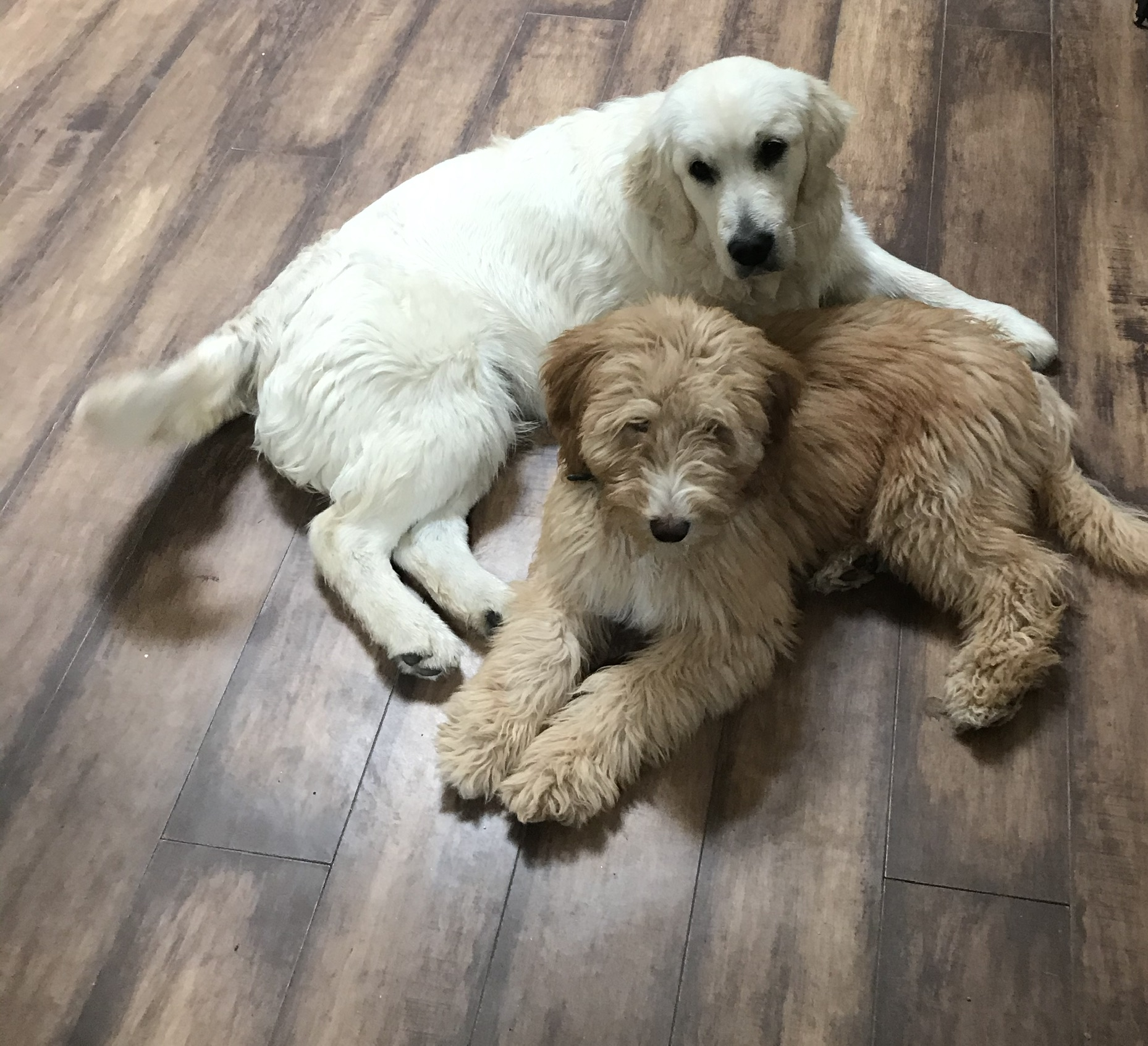 Goldendoodle Picture