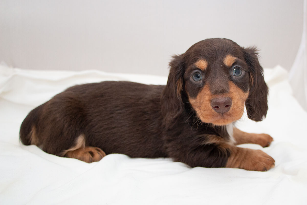 Dachshund (Toy, Miniature, Standard) Picture