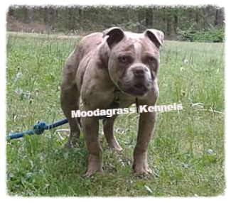 Alapaha Blue Blood Bulldog Picture
