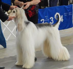 Afghan Hound Picture