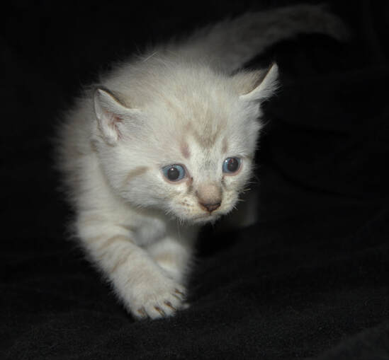 American Bobtail Picture