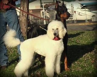 Poodle (Standard) Picture