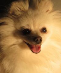 Lightshine Pomeranians