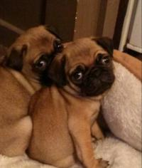 Pugs of Course