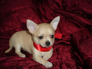 Two Chihuahua Pups Available Now