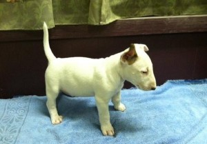 Charming Staffordshire Bull Terrier Puppy