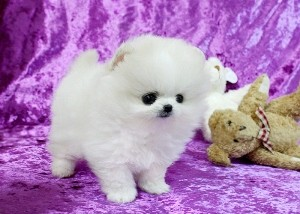 POMERANIAN PUPS Now Available