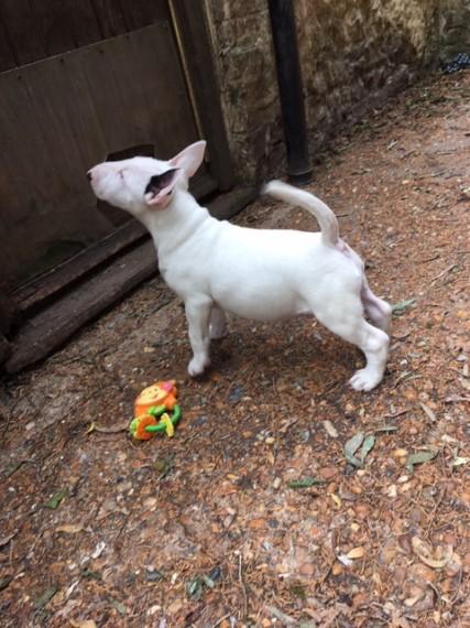 Sasha, playful Miniature Bull Terrier puppy