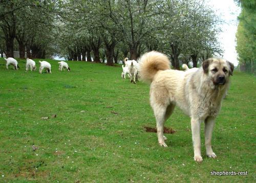 Shepherds Rest Anatolians