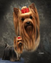 Firefox Yorkshire Terriers
