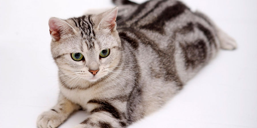 American Shorthair picture