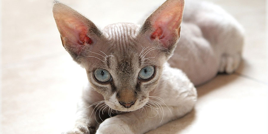 Devon Rex picture
