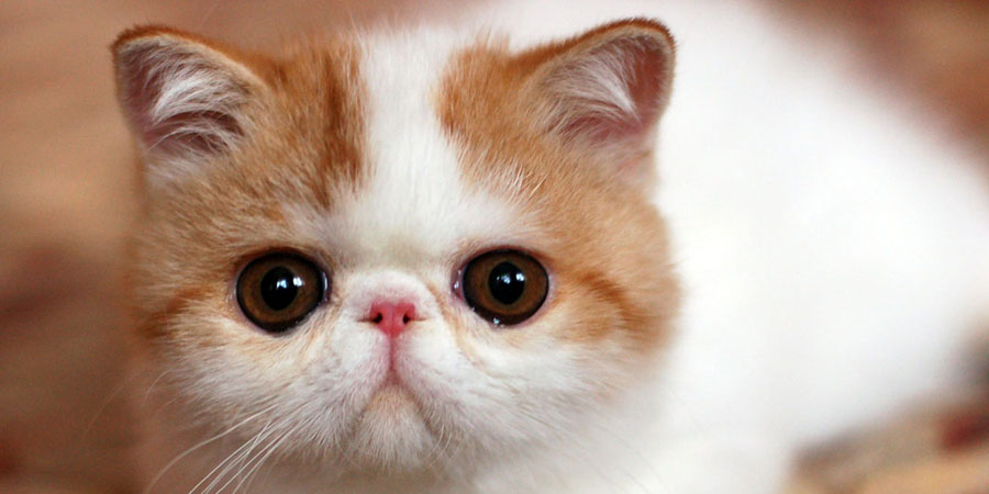 Exotic Shorthair picture