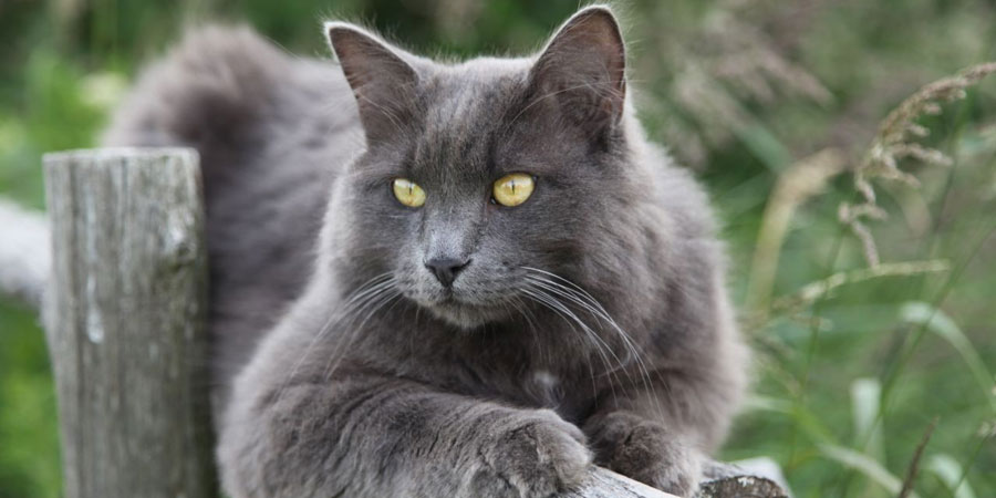 Nebelung picture