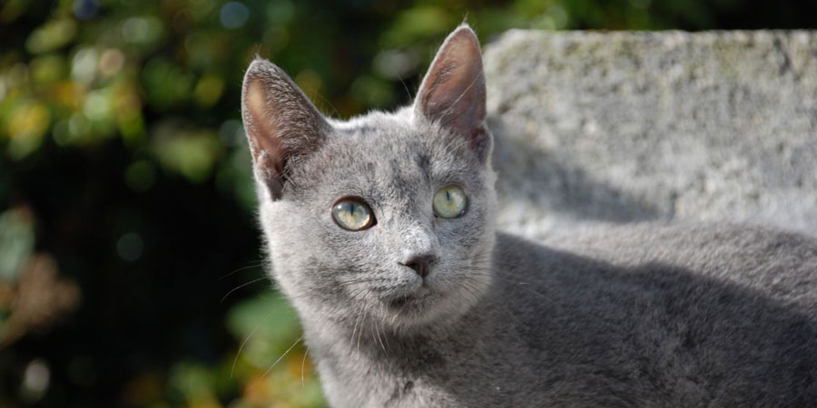 Russian Blue picture