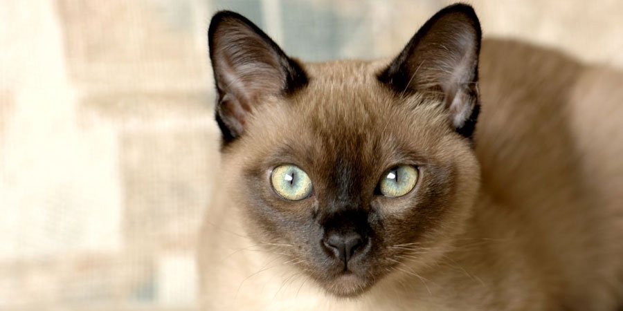 Tonkinese picture