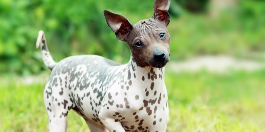 American Hairless Terrier picture
