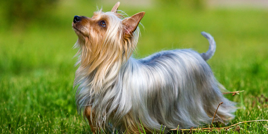 Silky Terrier picture