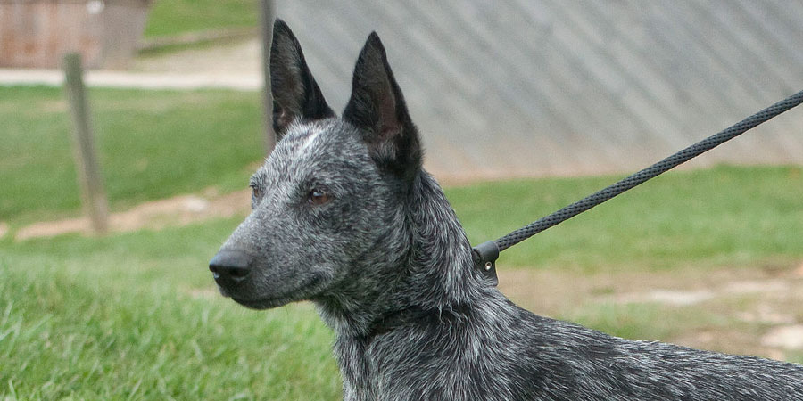 Australian Stumpy Tail Cattle Dog picture