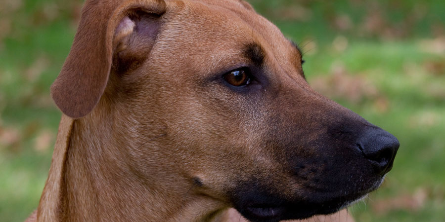 Black Mouth Cur Dog Breeders In Texas