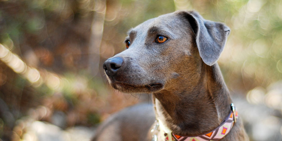 Blue Lacy picture