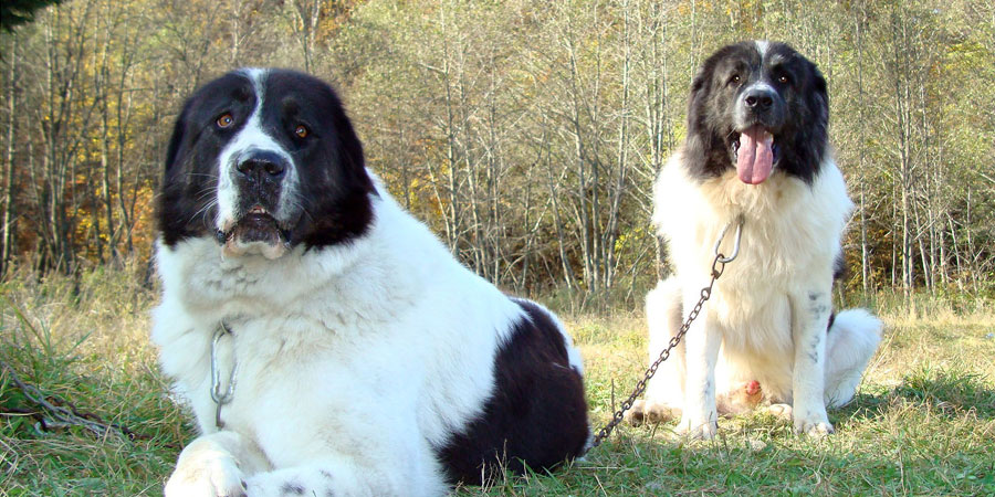 Bukovina Sheepdog picture