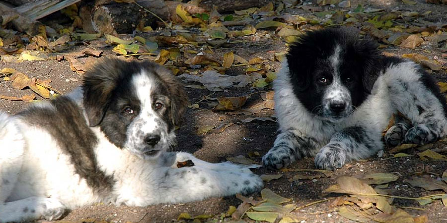 Bulgarian Shepherd Dog picture