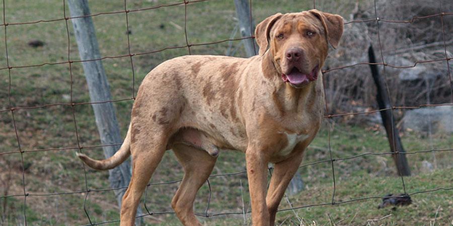 Catahoula Bulldog picture