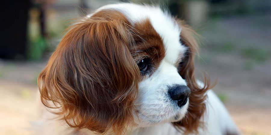 Cavalier King Charles Spaniel picture