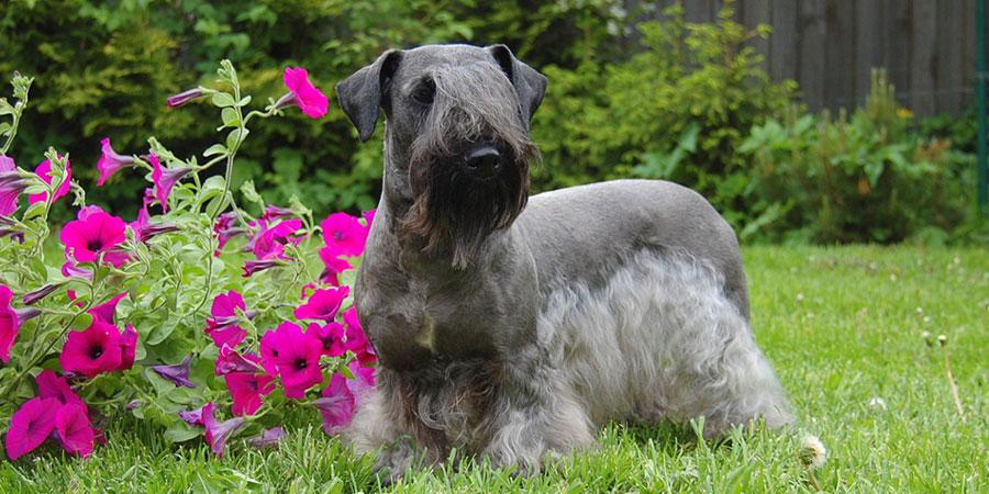 Cesky Terrier picture