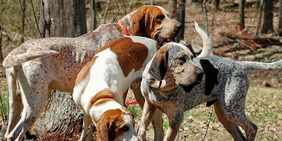 American English Coonhound picture