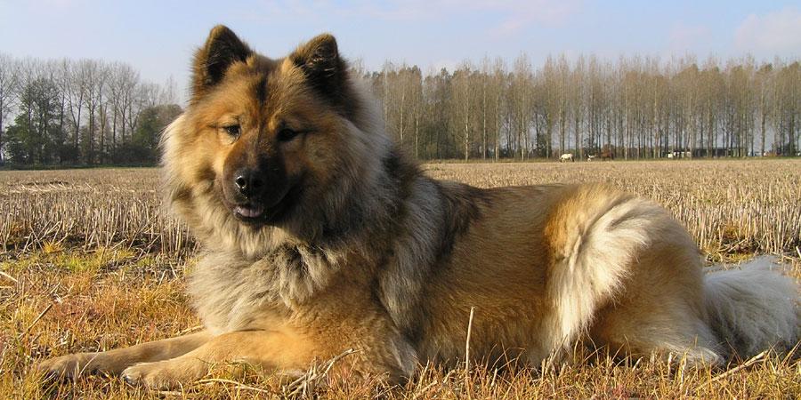 Eurasier picture