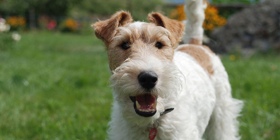Wire Fox Terrier picture