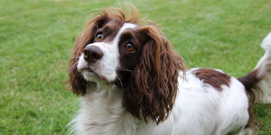 French Spaniel picture