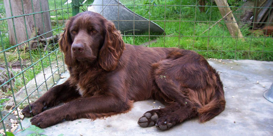 German Longhaired Pointer picture