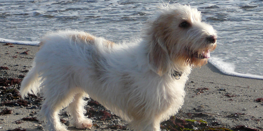 Grand Basset Griffon Vendeen picture