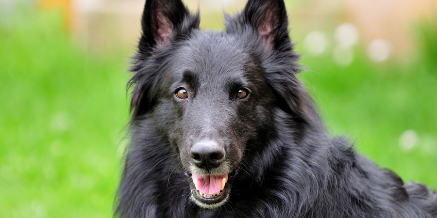 Belgian Sheepdog picture