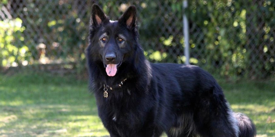 King Shepherd picture