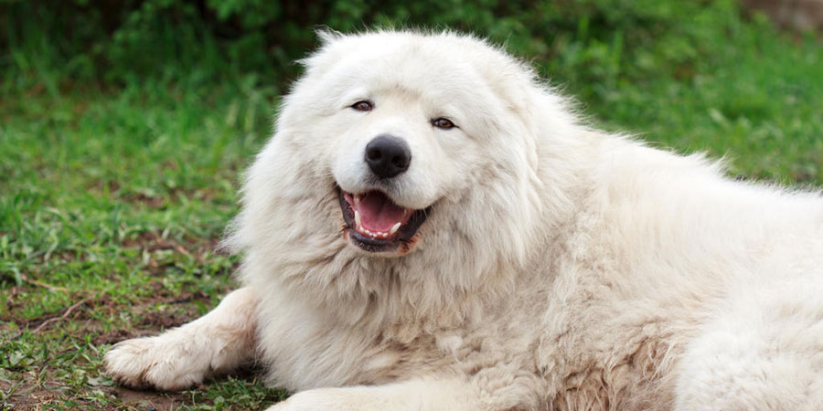 Maremma Sheepdog picture